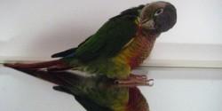 Lintuharrastuksen myyttejä: Peili papukaijan leluna