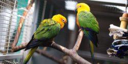 Sosiaalinen papukaija on kehittynyt elämään lajitoverin kanssa